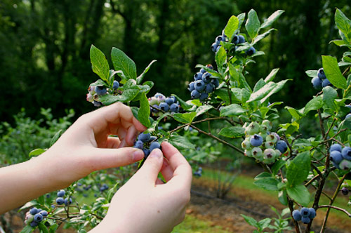 phytochemicals-blueberries-limit-radiation-damage