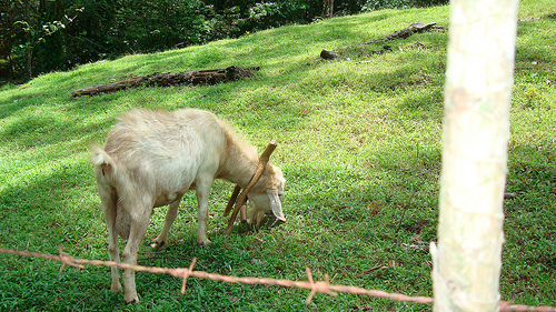 goats get protein from grass