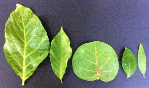 Leaves of five superfood plants in my garden from left to right: Noni, Coffee, Sea Grape, Acerola, Pomegranite.