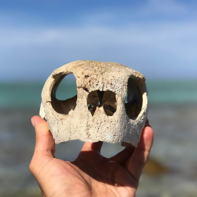 Found a sea turtle skull on an isolated motu islethellip
